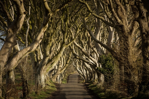 25943 game of thrones the dark hedges the kingsroad